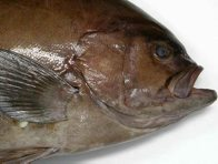 Oval Rockcod - head