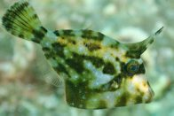 Spectacled Leatherjacket, Cantherhines fronticinctus