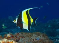 Moorish Idol at Hideaway Island