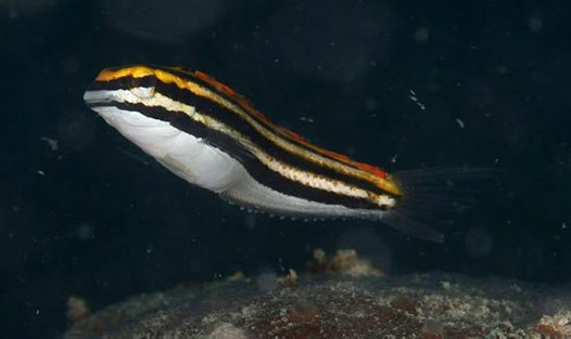 Yellow Sabretooth Blenny at Bowen
