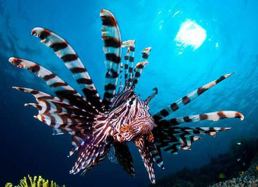 Common Lionfish at Tomia Island