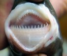 Smalltooth Cookiecutter Shark teeth