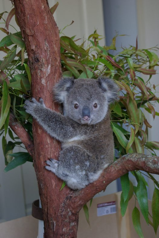 Koala genome breakthrough #2