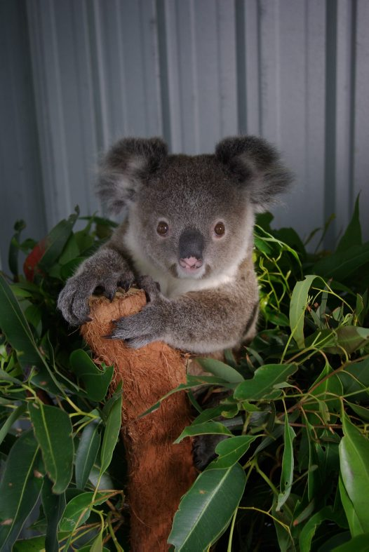 Koala genome breakthrough #3