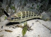 Eastern Striped Grunter at Little Beach