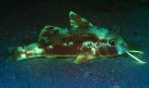 Fluorescing Goatfish