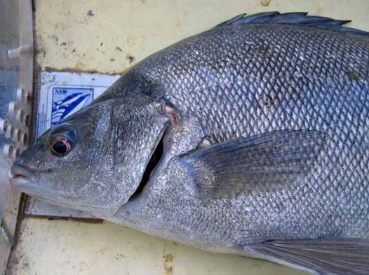 Silver Perch - head