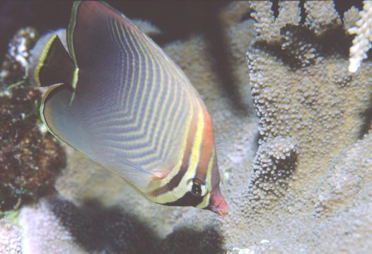 Triangular Butterflyfish at Wishbone Reef
