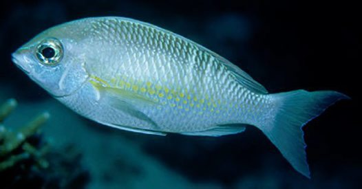 Pearly Monocle Bream, Scolopsis margaritifera