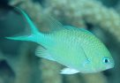 Blue-green Puller, <em>Chromis viridis</em>
