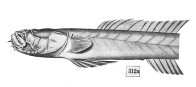 Eel goby, McCulloch, 1934