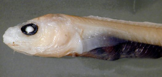Head of an eelpout, Pachycara gymninium