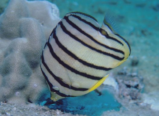 An Eight-banded Butterflyfish at Redang Island, Malaysia
