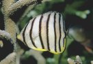 An Eight-banded Butterflyfish at Redang Island