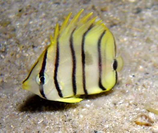 A juvenile Eight-banded Butterflyfish at Garove Island