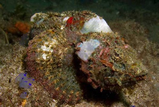 Yellowfin Scorpionfish at Shiprock