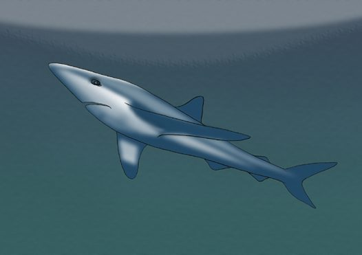 Blue Shark Illustration