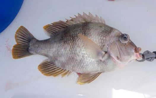 Mozambique Seabream caught at Lord Howe Island