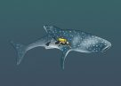 Whale Shark Illustration