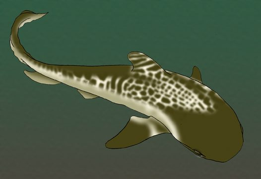 Tiger Shark Illustration