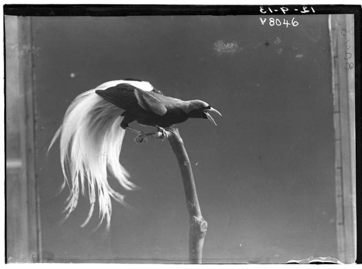 HJ Burrell photo: Bird of Paradise