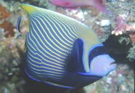 An Emperor Angelfish at north of Rodda Reef