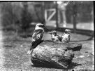 HJ Burrell photo: Kookaburras