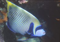 An Emperor Angelfish at Rodda Reef
