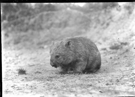 HJ Burrell photo: Wombat
