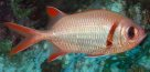Epaulette Soldierfish at North Solitary Island