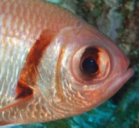 Head of an Epaulette Soldierfish at North Solitary Island