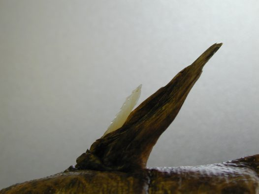Dorsal fin spine of an Estuary Cobbler