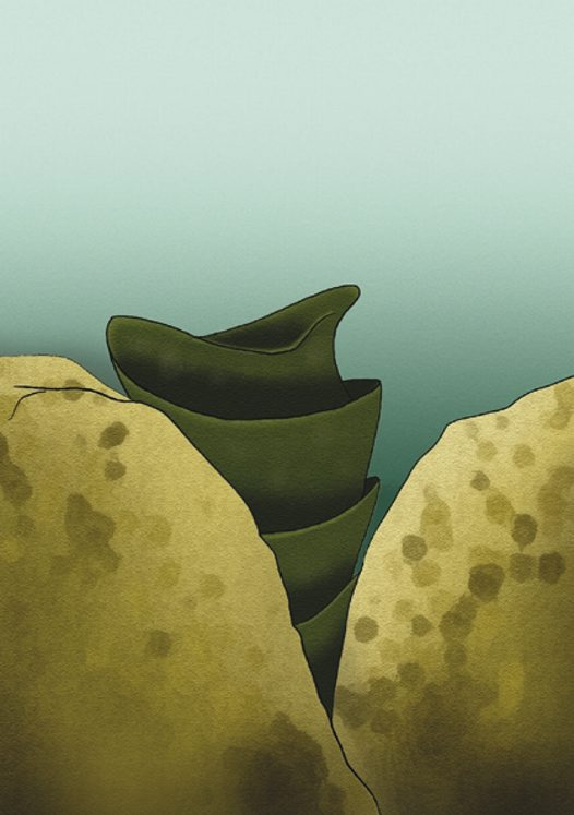 Port Jackson Shark egg Illustration