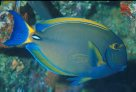 An Eyestripe Surgeonfish from North Solitary Island.