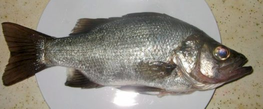 An Estuary Perch caught at Apple Tree Bay