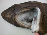Mouth of a False Catshark