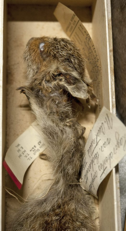 Hare-wallaby specimen