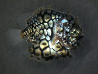 Juvenile Pineapplefish