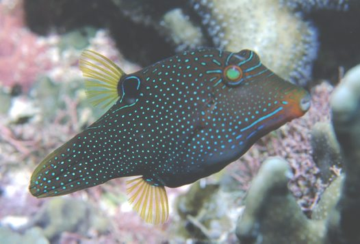 Lateral view of a False-eye Puffer.