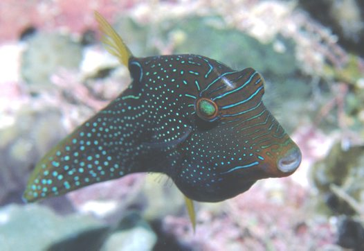 A False-eye Puffer at Ribbon Reef.