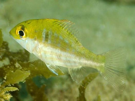 Threadfin Emperor, Lethrinus genivittatus