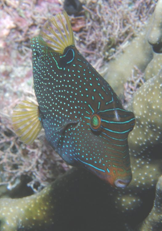 Dorsal view of a False-eye Puffer.