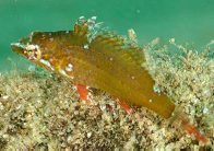 Cocktail Wrasse, Pteragogus flagellifer