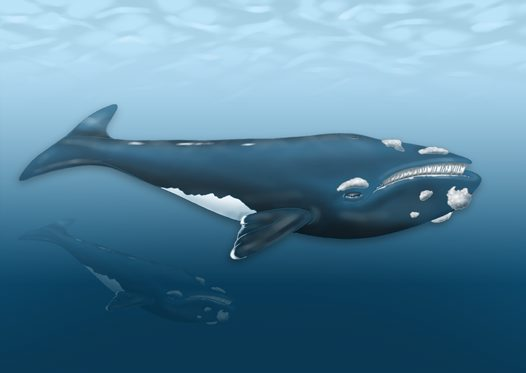 Southern Right Whale Illustration
