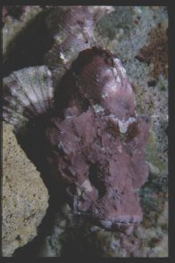 False Stonefish at Ribbon Reefs, Great Barrier Reef