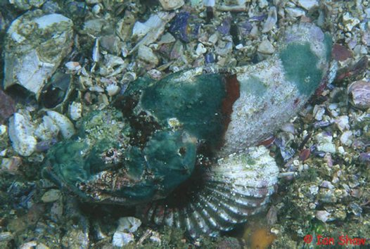 False Stonefish at North Solitary Island