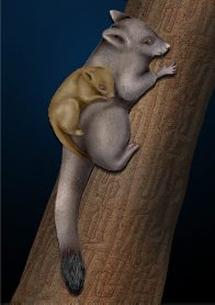 Possum with Baby Illustration