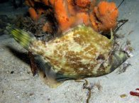 Fanbelly Leatherjacket at Fly Point Marine Reserve
