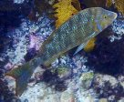 Spangled Emperor in Cabbage Tree Bay