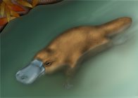 Platypus Illustration